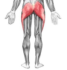 Gluteus Maximus Muscle in the Buttocks