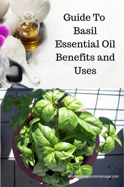 A Guide To Basil Essential Oil and Its Benefits and Uses In Aromatherapy