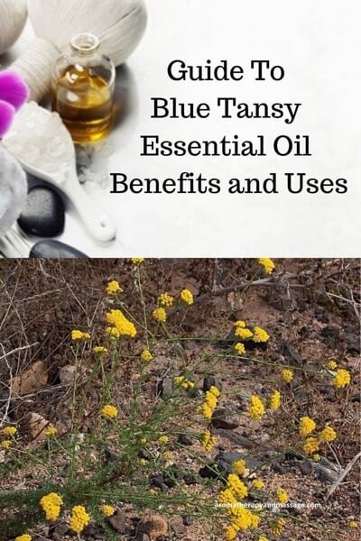 Guide To Blue Tansy Essential Oil and Its Benefits and Uses In Aromatherapy
