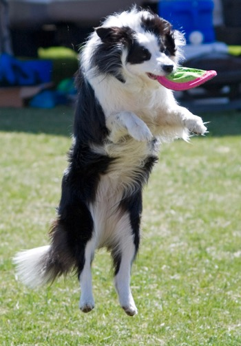 Border Collie | Using Essential Oils For Dogs