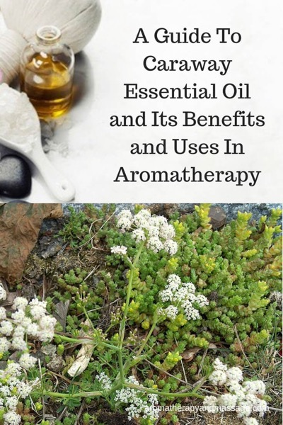 A Guide To Caraway Essential Oil and Its Benefits and Uses In Aromatherapy
