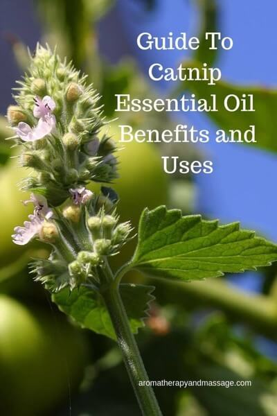 A Guide To Catnip Essential Oil and Its Benefits and Uses in Aromatherapy (with photo of the catnip herb)