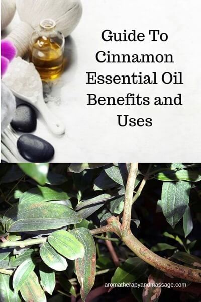 Guide To Cinnamon Essential Oil and Its Benefits and Uses (with photo of cinnamon tree)