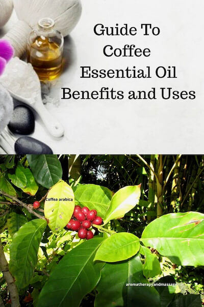 Aromatherapy supplies with the words Guide To Coffee Essential Oil Benefits and Uses and photo of a Coffea arabica plant.