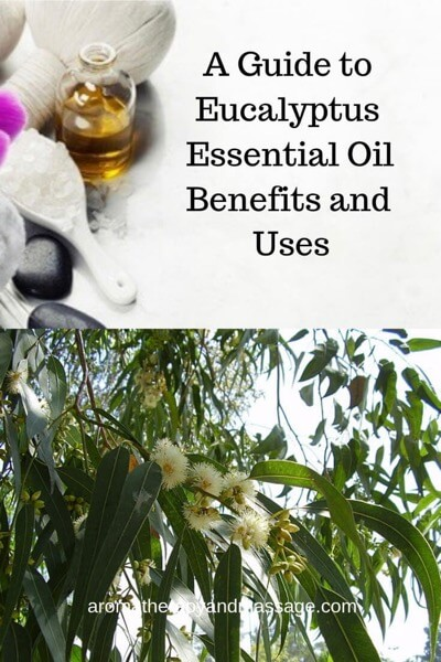 A Guide To Eucalyptus Essential Oil and Its Benefits and Uses with a photo of an eucalyptus globulus tree