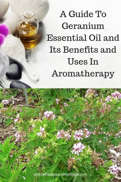 A Guide To Geranium Essential Oil and Its Benefits and Uses In Aromatherapy
