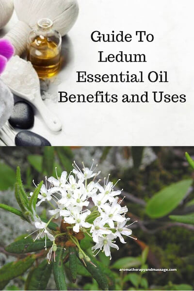 Aromatherapy supplies with the words Guide To Ledum Essential Oil Benefits and Uses and photo of ledum plant