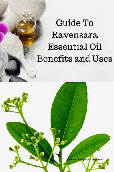 Aromatherapy supplies with the words A Guide To Ravensara Essential Oil Benefits and Uses and picture of ravensara leaves.