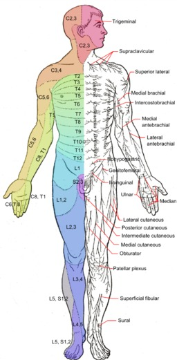 Anterior Nerves | Essential Oils for Neuropathy