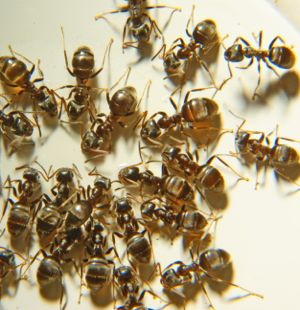 Ants | Essential Oils for Pest Control
