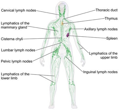 Lymphatic system of the human body | Manual Lymph Drainage