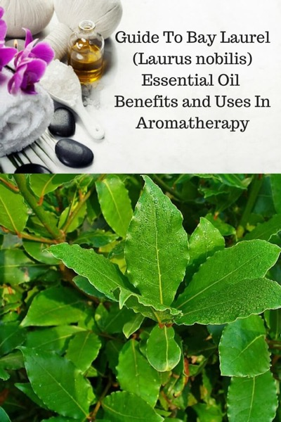 A Guide To Bay Laurel Essential Oil and Its Benefits and Uses | Aromatherapy supplies and bay laurel leaves