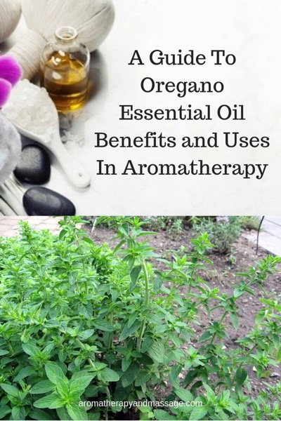 A Guide To Oregano Essential Oil and Its Benefits and Uses In Aromatherapy