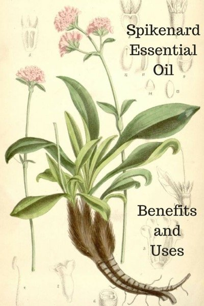 A Guide To Spikenard Essential Oil and Its Benefits and Uses