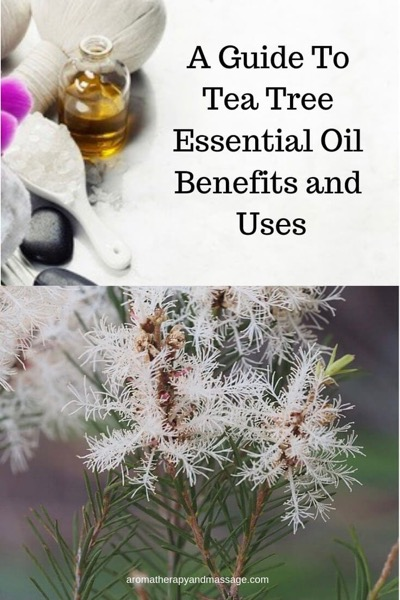 A Guide To Tea Tree Essential Oil and Its Benefits and Uses In Aromatherapy