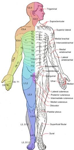 Anterior Nerves | Essential Oils for Neuropathy