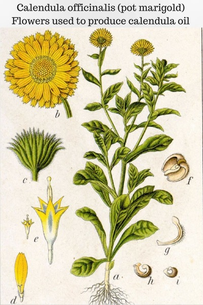 A Guide To Calendula Essential Oil and Infused Oil and Their Benefits and Uses | Illustration of Calendula plant