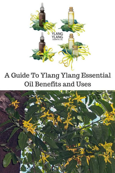 A Guide To Ylang Ylang Essential Oil and Its Benefits and Uses | Top: Drawing of bottles of ylang ylang. Bottom: The plant.